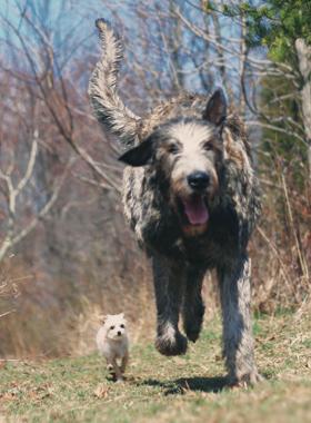 hounds